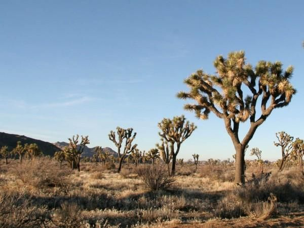 desert trees - Google Search