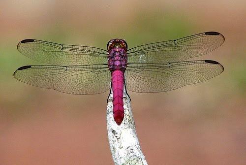 ♥ Blog da Joaninha: Sobre Libélulas ♥ O significado da Libélula: este belo inseto atraído pela luz, representa a imortalidade e a regeneração