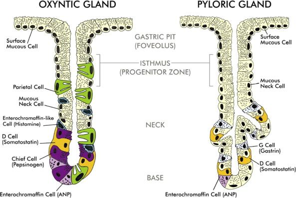 Kidney Part Ii A Understanding Of The Kidneys Role In Osmoregulation moreover Posterior Pituitary likewise Ap Psych Limbic as well Luisa together with 4220344. on endocrine glands and function diagram