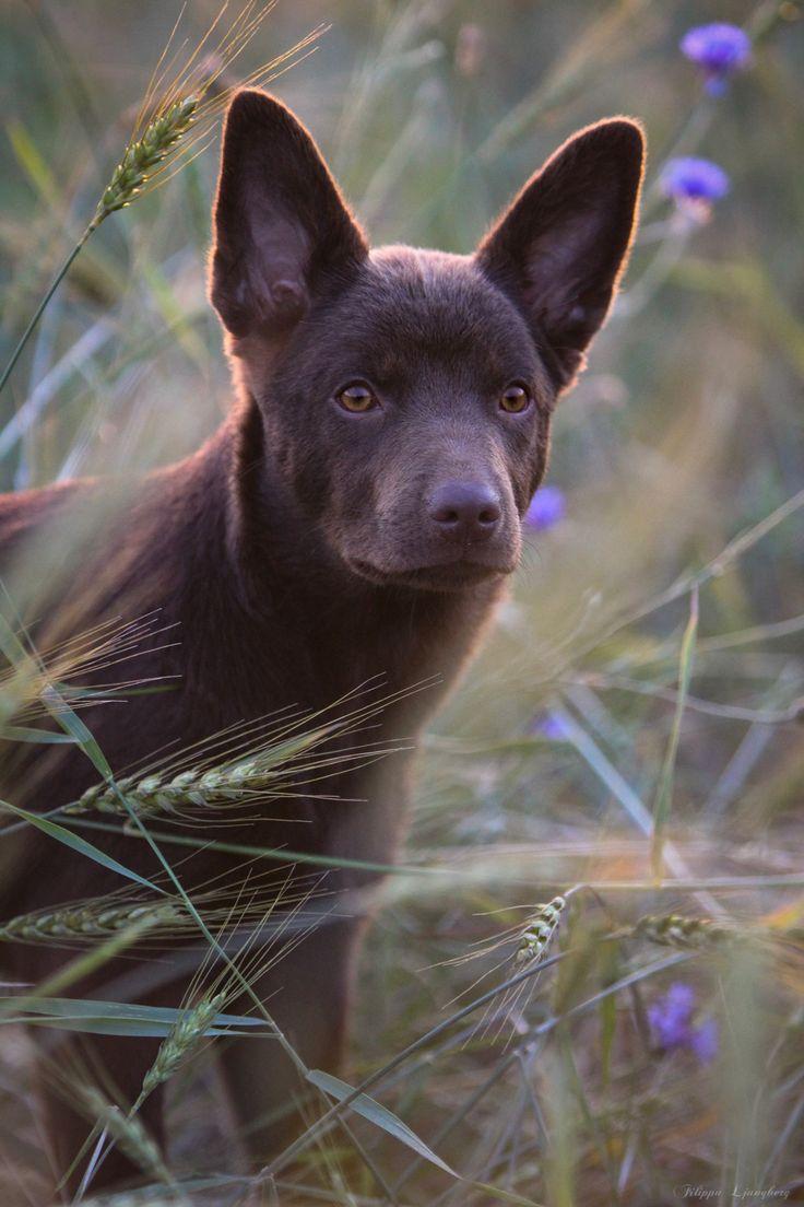 Australian Kelpie   Gorgeous dogs breeds, Pretty dogs