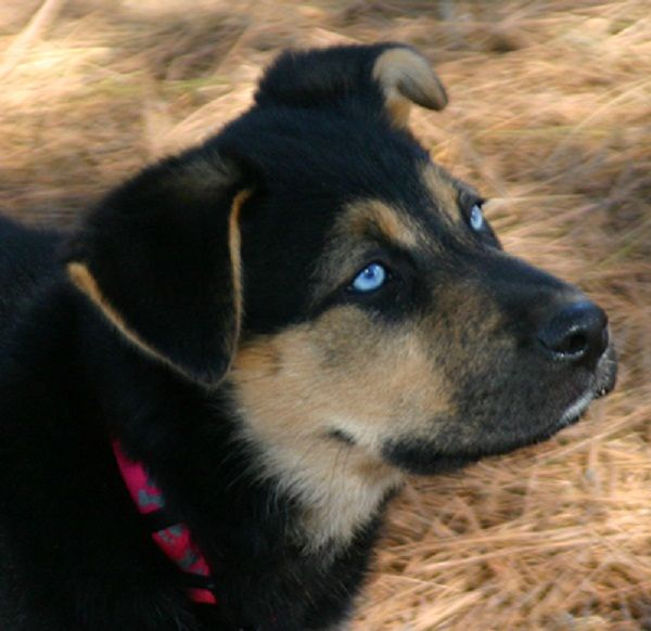 blue eye german shepherd black german shepherd puppies with blue eyes zoe fans 7578