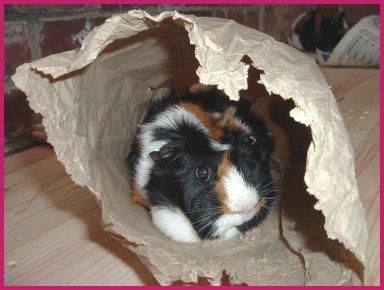 """Ideas for changing up the cage toys for guinea piggies. """"Guinea Pig Toys/Home Comforts"""""""