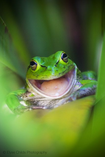 Laughing Frog | © Elyse Childs Photography