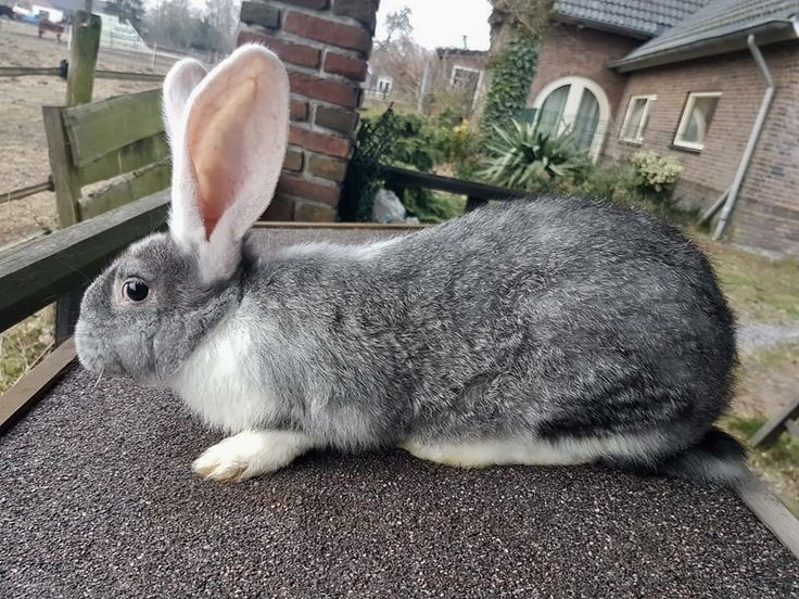 Big bunny, without food? Must be hungry. It's a giant bunny