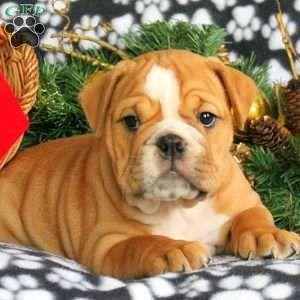 English Bulldog Puppy in Leola, PA