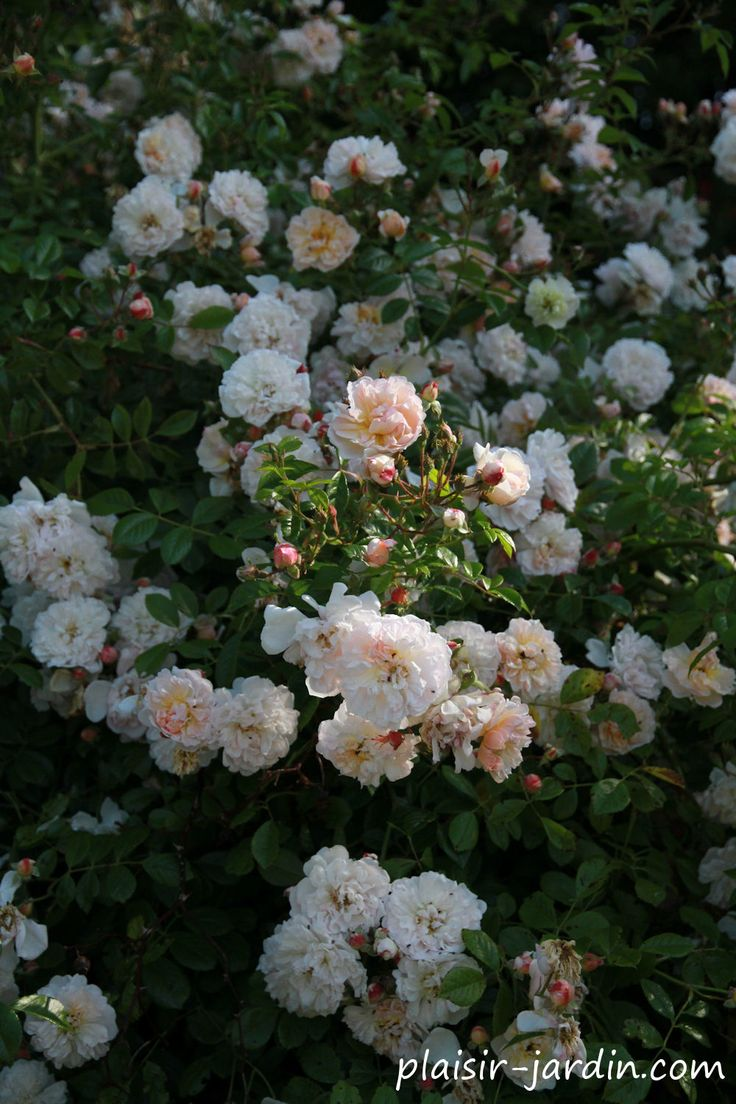 260 best rosiers images on pinterest gardening amp html and black stains - Periode de taille des rosiers ...