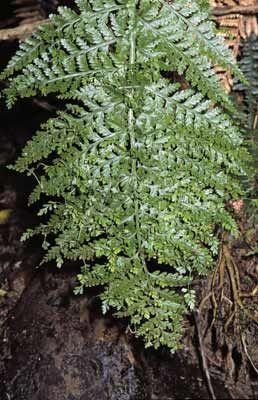 Asplenium bulbiferum