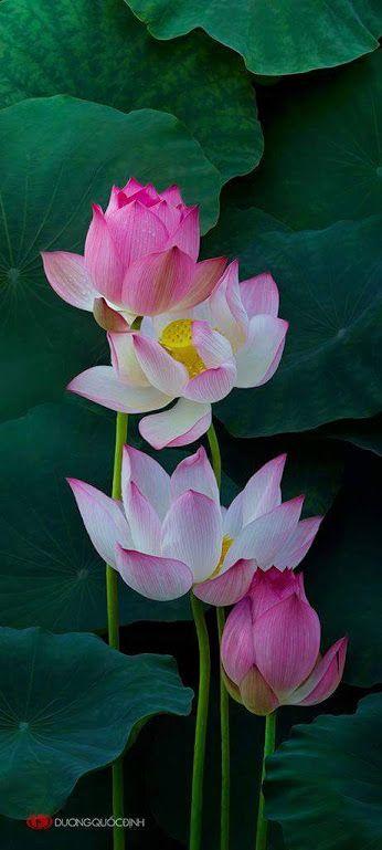 Pink Lotus in Pond Beautiful............