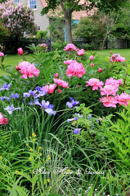 Siberian iris and peonies Aiken House & Gardens