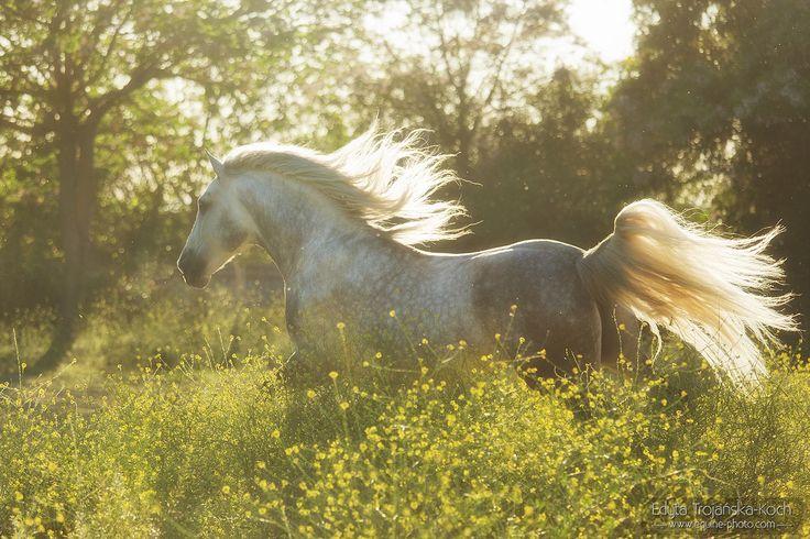 PRE stallion Lote, SPain