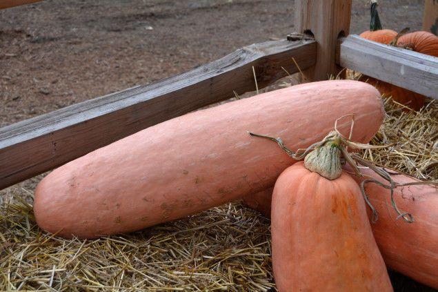 Squash Seeds - PINK BANANA - Huge Jumbo - Conventional & Organic - 10 Seeds #theseedhouse