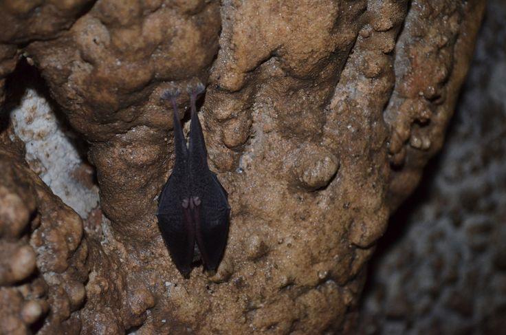 Разные виды летучих мышей живут в пещерах. Некоторые настолько доверяют человеку, что их возможно осторожно погладить. А если обдать тёплым дыханием, то они мило потягиваются и зевают. Летучая мышка на фото чем-то сильно напоминает избушку на куриных ножках, только вверх тормашками.  Проверить вышесказанное можно в нашем туре по пещерам Чатыр-Дага hikeup.net/trekk/12