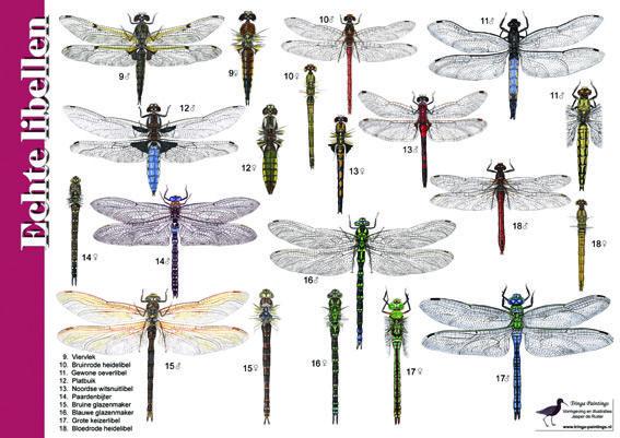 Herkenningskaart / zoekkaarten Echte libellen