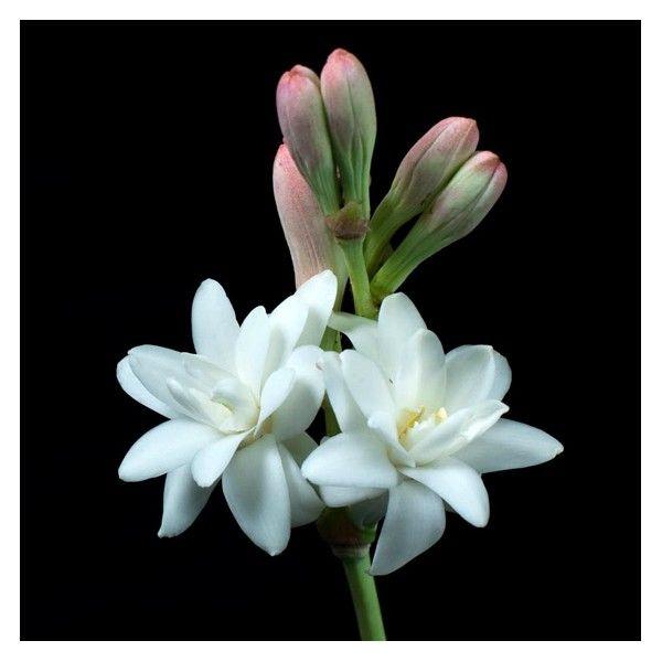 EL NARDO. Una flor indómita y narcótica que enamora e infunde temor a partes iguales.