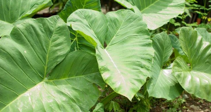 Alocasia, también llamada oreja de elefante, es originaria de zonas tropicales húmedas. Las plantas