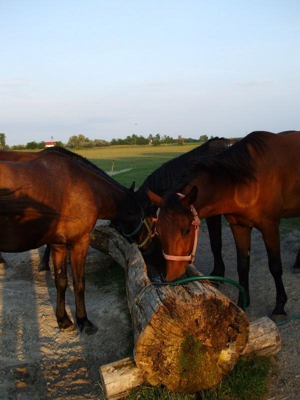 horses next to a farmhouse in Hungary (Gedeon Tanya panzió, Bugacpuszta)