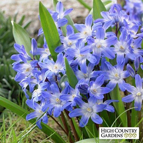 Chionodoxa forbesii Bulbs Blue Giant | Chionodoxa forbesii | Glory of the Snow Blue Giant | Low Water Plants, Eco Friendly Landscapes| Fall-Planted Flower Bulbs from High Country Gardens
