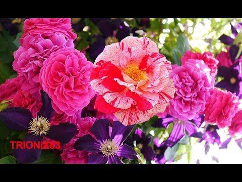 LAS ROSAS MAS BONITAS DEL MUNDO – Las Flores mas Hermosas del mundo – Rosas Bonitas - YouTube