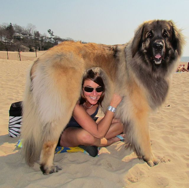 Me and Big George, the Leonberger