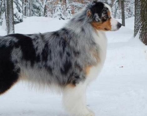 I want one! Australian Sheep dog