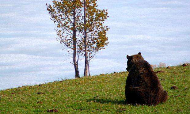 Jane Goodall's bid to save grizzly bears threatened by $50 hunting licenses  Goodall leads coalition calling for Yellowstone's grizzlies to stay on endangered species list, as Montana hunters set to be offered $50 licenses to shoot them
