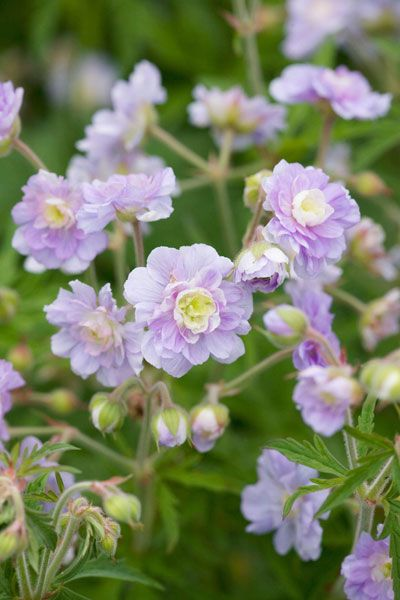 Buy cranesbill Geranium 'Summer Skies ='Gernic' (PBR)': Delivery by Crocus