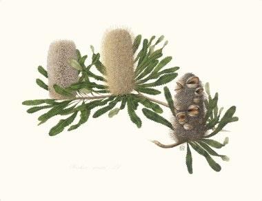 Celia Rosser, Australian botanical artist: Banksia Serrata