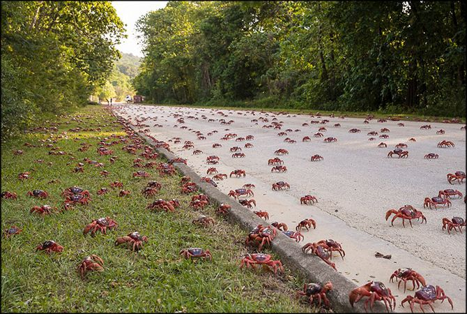As every year, the red crabs of Christmas Island began their migration.Indeed, each year, millions red crabs that cross the island...