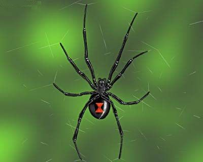 The female Lactrodectus (the Black Widow Spider) is the most poisonous spider in the North American region.