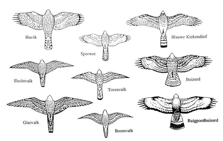 roofvogels (tekenoverzicht)