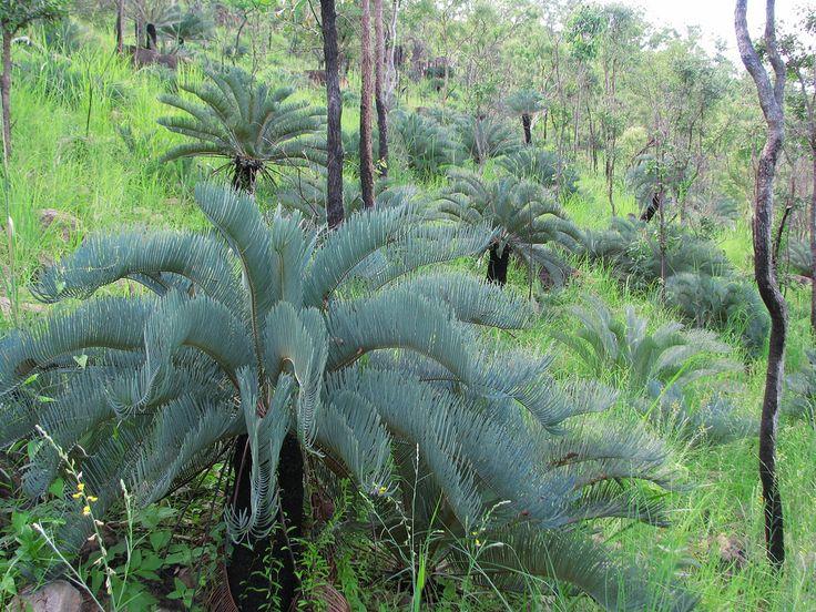 Cycas platyphylla plants in habitat pinterest for Cycas landscape design