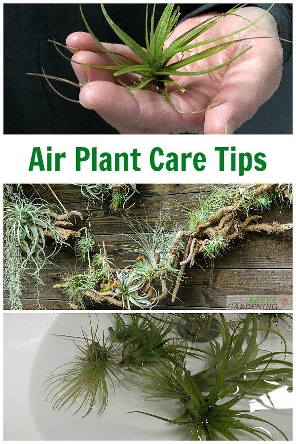 Air Plant Care How To Tend Fertilize And Water Tillandsia Air