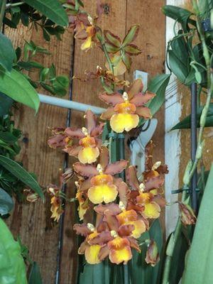 Орхидеи, мальвавискус, бересклет вариегатный - Все о комнатных растениях на flowersweb.info