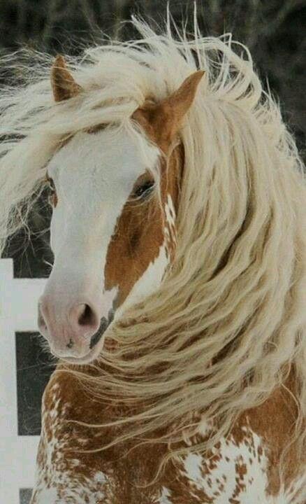 Tully's Jackpot - gypsy stallion