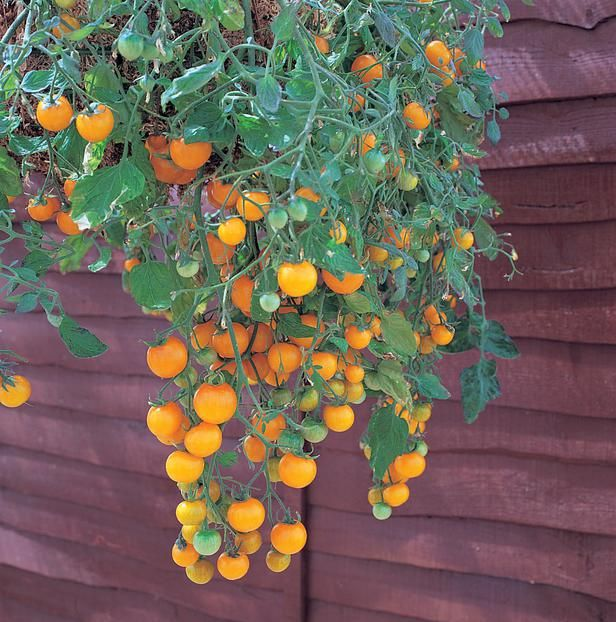 tomatoes such as 'Patio' and 'Patio Princess' are good for container growing. They're perfect for growing in hanging baskets. Examples: 'Tumbler', 'Tumbling Tom Yellow' (pictured). More helpful info at http://www.tomatodirt.com/growing-tomatoes-in-pots.html. - Didn't know..my Patio just went into a ground pot...hanging would be great!