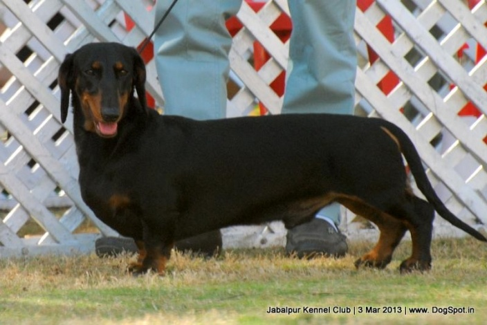 Smooth Haired Standard Dachshund Stacking In Dog Show