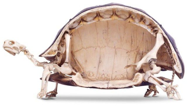 You Won't Believe What's Going On Inside A Turtle's Shell.