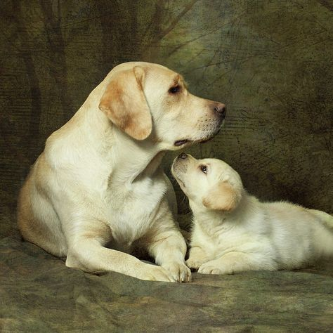 Yellow Labrador Dog With Her Puppy