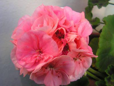 How To Make Essential Rose Geranium Oil | LIVESTRONG.COM