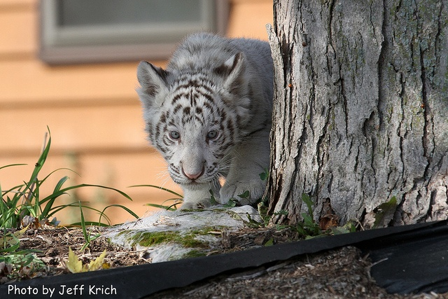 white tiger cub next to tree a white tiger cub coming. Black Bedroom Furniture Sets. Home Design Ideas
