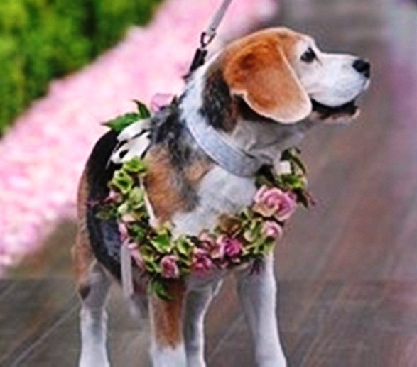 Beagle wedding dog Toni Kami ❀Flowers in their coats❀