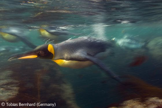 King swimmer - Tobias Bernhard - Wildlife Photographer of the Year 2006 : Underwater Worlds - Highly commended