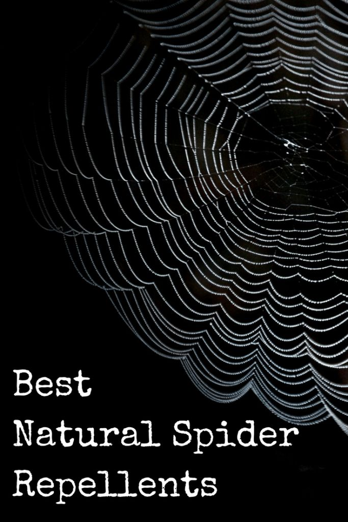 There are a lot of things you can do to take on spiders on the homestead without resorting to harsh chemicals. Read on to find a few things that you can do right now to reduce and eliminate spiders around your place!  Best Natural Spider Repellents https://www.backdoorsurvival.com/best-natural-spider-repellents/