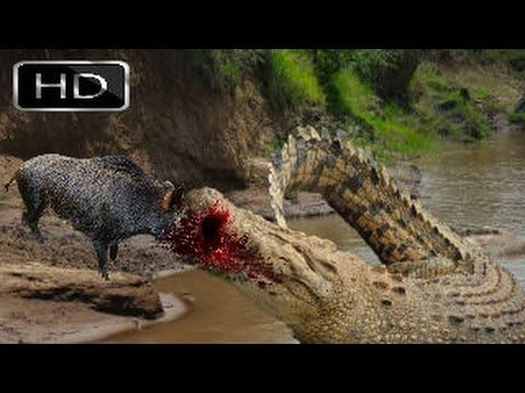 Most Powerful Crocodile Eating Wild Boar || Most Dangerous  Fight to dea...