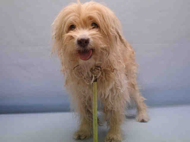 16 YEARS OLD!!!!! 11/12/16 LISTED TO BE MURDERED TODAY!!SUPER URGENT Manhattan Center SULLY – A1096121 MALE, YELLOW / WHITE, COCKER SPAN / MALTESE, 16 yrs STRAY – STRAY WAIT, HOLD FOR ID Reason STRAY Intake condition EXAM REQ Intake Date 11/06/2016, From NY 11104, DueOut Date 11/09/2016,