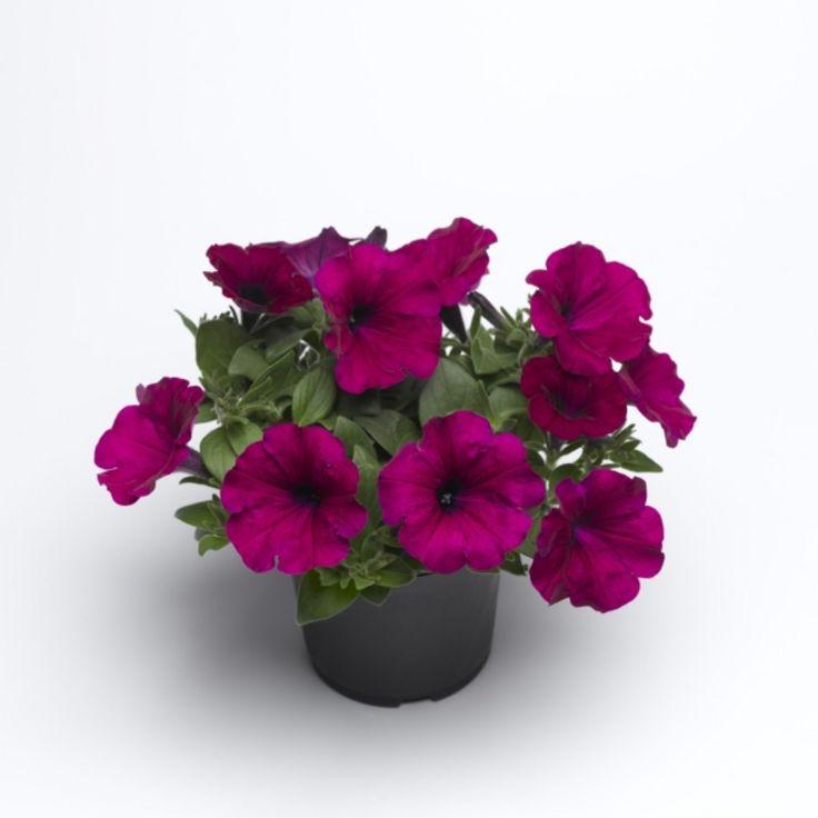 Hybrid petunia purple