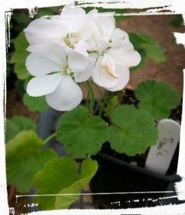 Flori semiduble, albe.Frunze verde inchis. Creste pana la 20-30cm inaltime in ghiveci.Nu necesita ingrijiri speciale. Sol bine drenat. Amplasament - la soare. Se uda cand pamantul este uscat. Ingrasamant pentru plante cu flori sau special pentru muscate. Se administreaza de primavara pana tamna. Ierneaza la temperaturi de 5-15grdC , in incaperi luminoase.