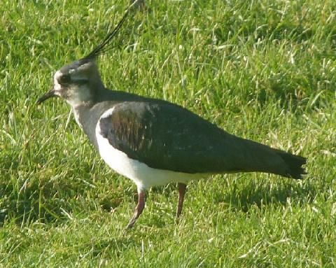 Pee-wit, green plover or lapwing? | Peter Orchard