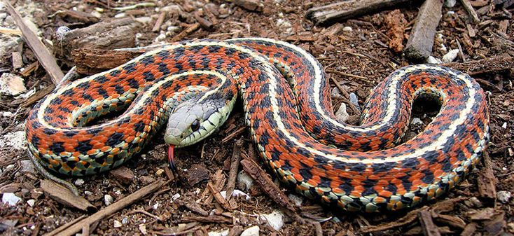 17 Best Images About Garden Snake On Pinterest Gardens Photographs And Garter