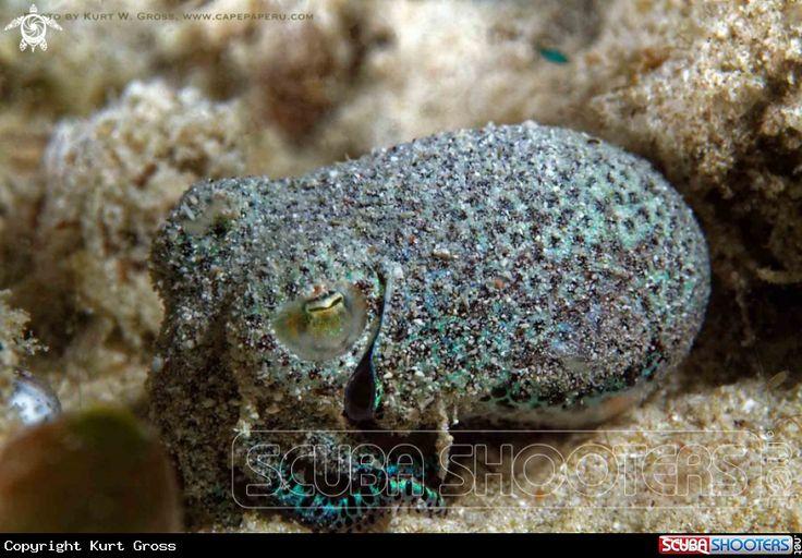 Bobtail Squid in Maluku - Indonesia